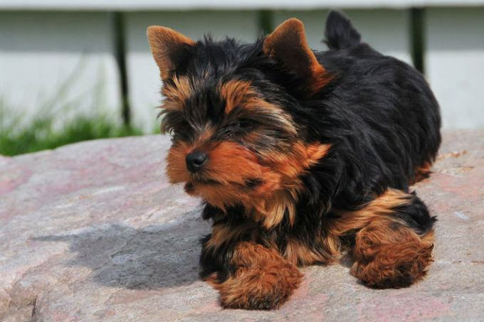 Yorkshire-Terrier-fofo
