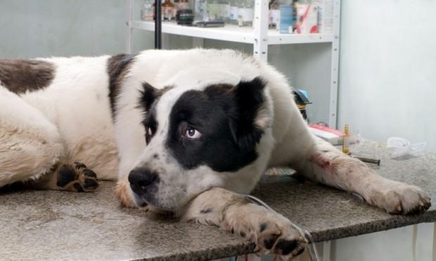 Atopia: em cães tratamento desta doença