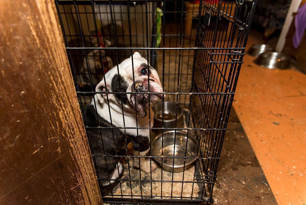 bulldogue-adulto-preso-em-gaiola