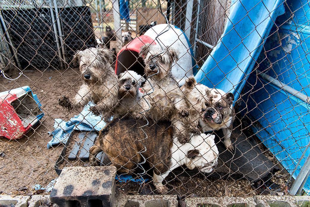 cachorros-adultos-presos-canil-ilegal