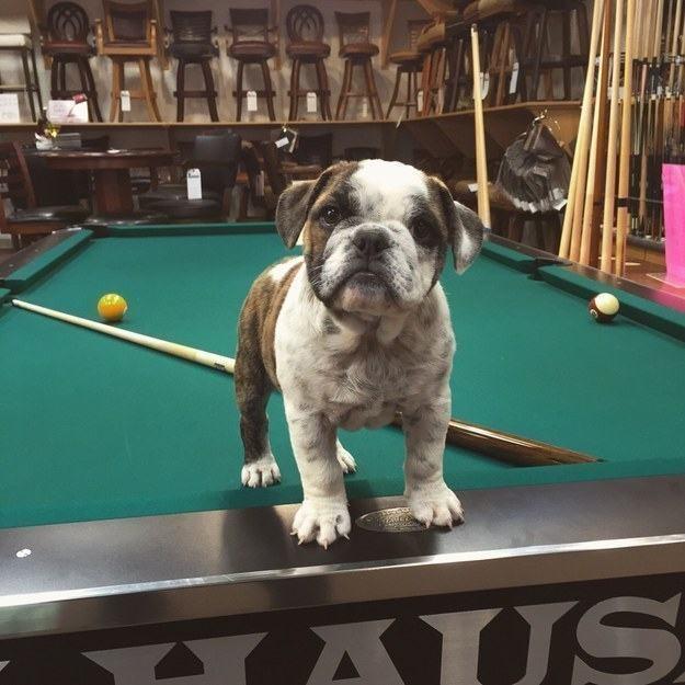 bulldogue-filhote-jogando-sinuca