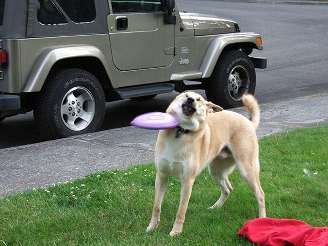 cachorro-acertado-por-frisbe