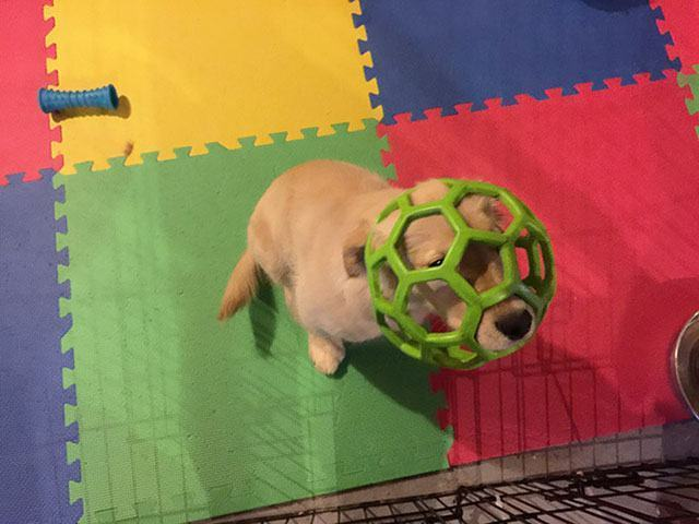 cachorro-com-cabeça-enfiada-em-bola