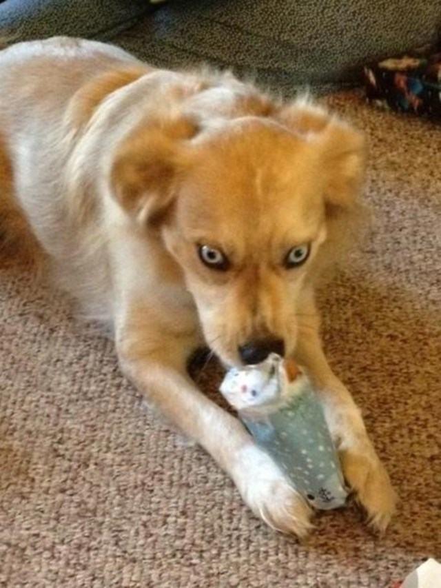 cachorro-endemoiado-abrindo-presente