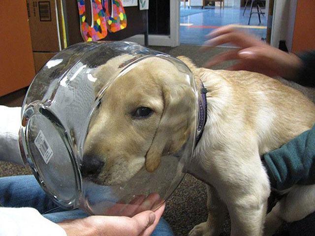 cachorro-labrador-cabeça-dentro-de-aquario