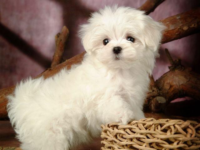 cachorro-maltes-filhote