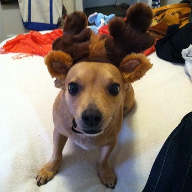 cachorro-fofo-mini-rena