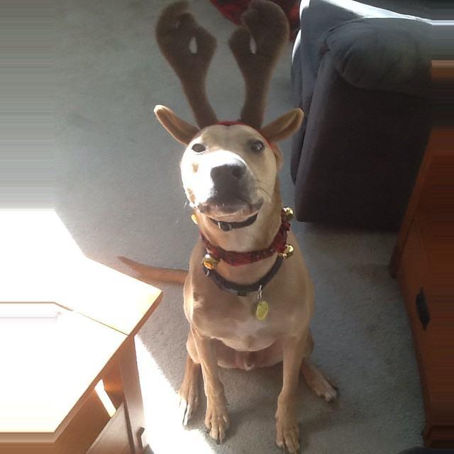 cachorro-chifre-e-coleira-rena-natal