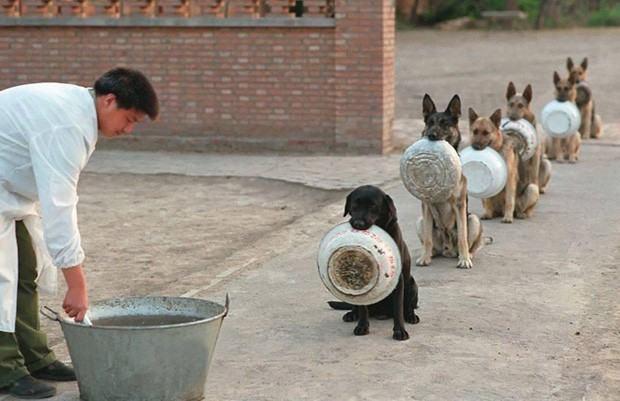Cães policiais dão um show de disciplina na hora de comer