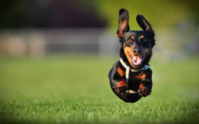 dachshund-correndo-veloz