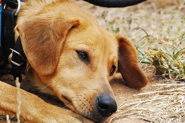 Estrangulamento do cachorro; o que fazer?