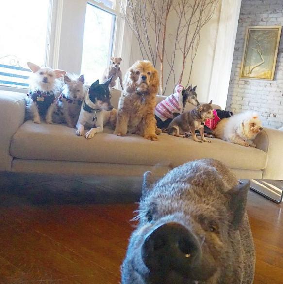 familia-grande-cachorros-porco