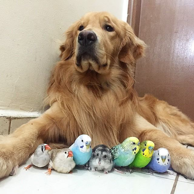 golden-retriever-baba-varios-animais