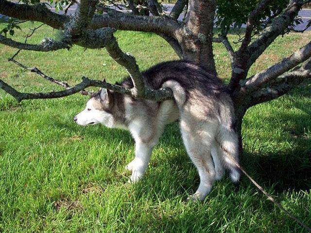 husky-preso-em-galho