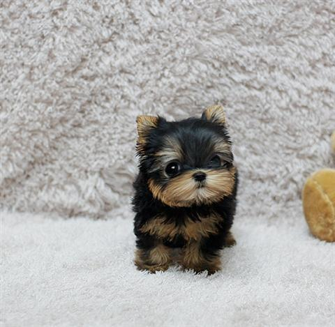pequeno-Yorkshire-Terrier