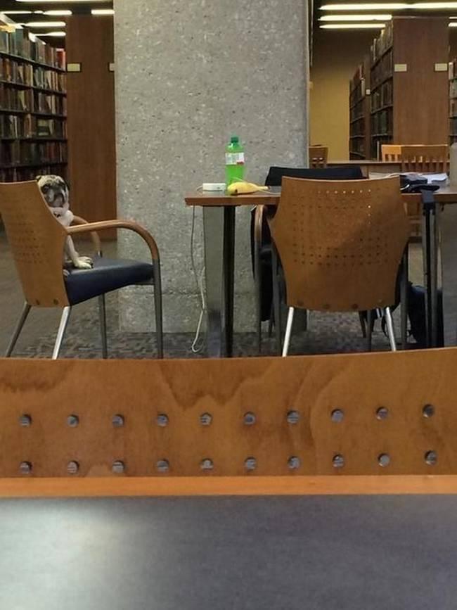 pugs-sentado-cadeira-biblioteca
