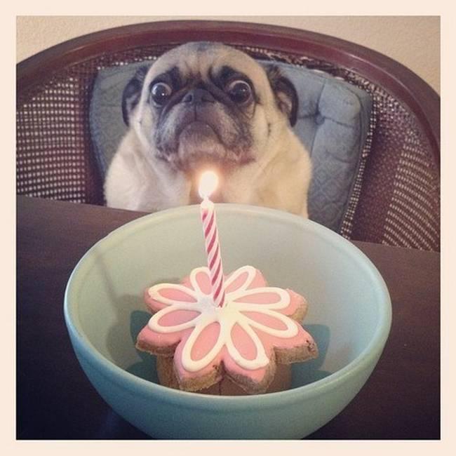 pug-com-cara-de-assustado-aniversario