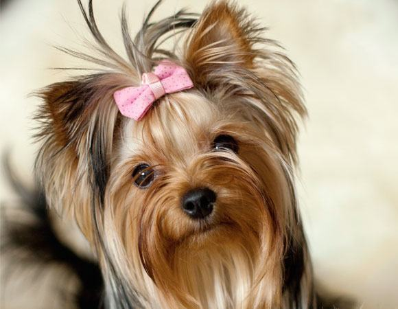 raca-Yorkshire-terrier