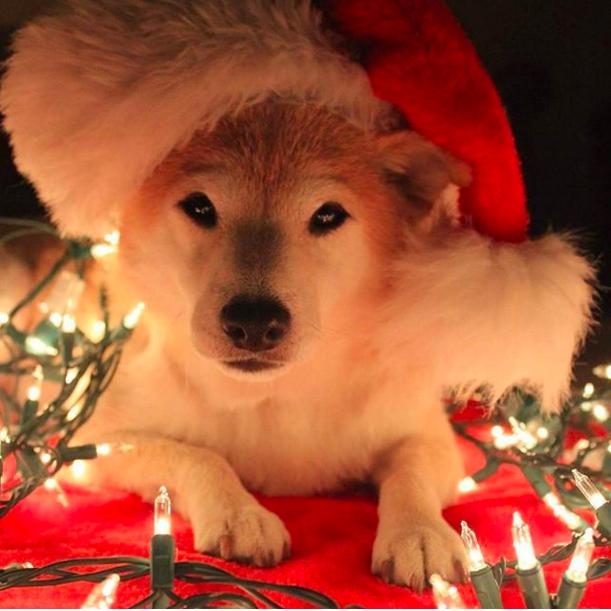 shiba-fotogenico-com-chapeu-natalino