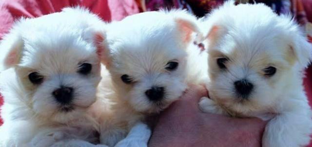 tres-filhotes-maltes