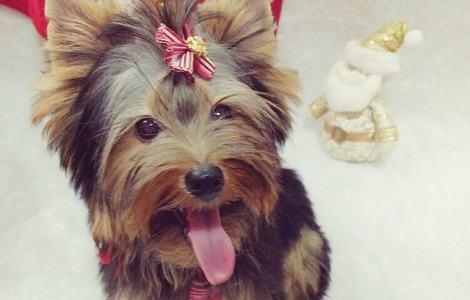 yorkshire-terrier-feliz