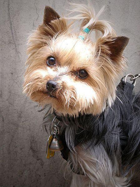 yorkshire-terrier-femea