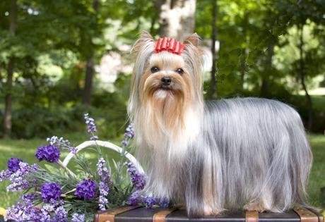yorkshire-terrier-pelo-longo