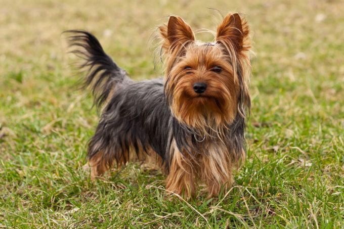 yorkshire-terrier-pelo-medio