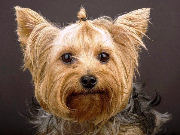 yorkshire-terrier-sapeca