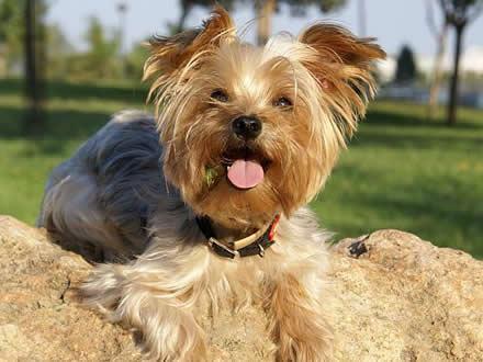 yorkshire-terrier-sorrindo