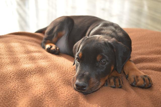 A insuficiência renal em cães