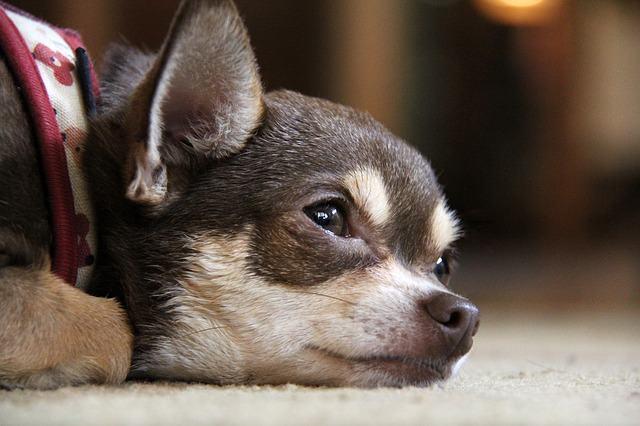 O hipotireoidismo em cachorros: causas, sintomas e tratamento
