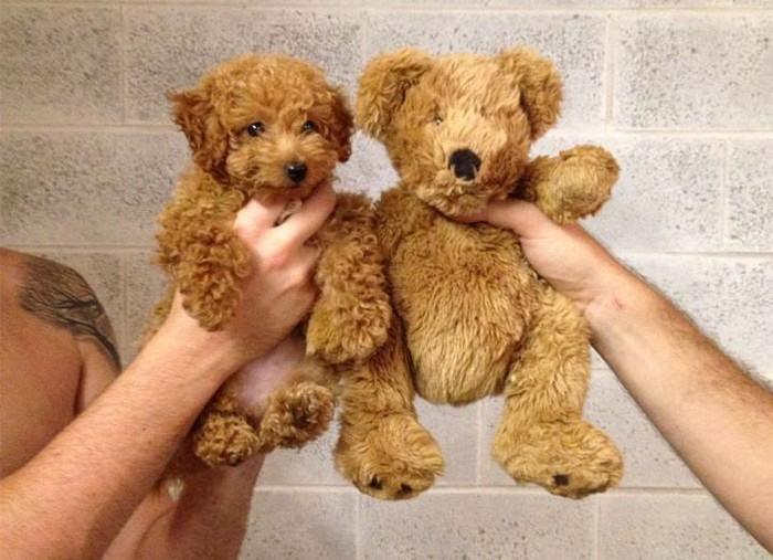 cachorro-igual-a-ursinho-de-pelucia