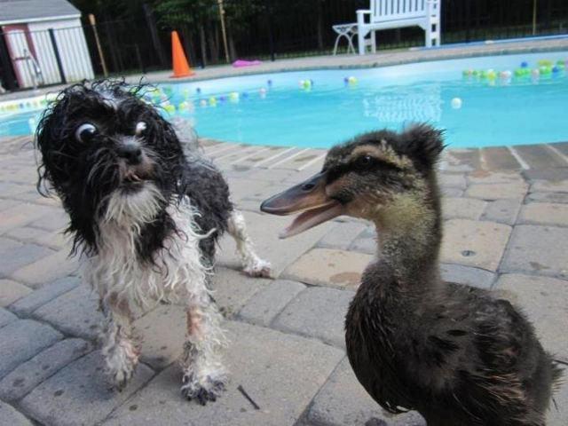 cachorro-medroso-e-pato