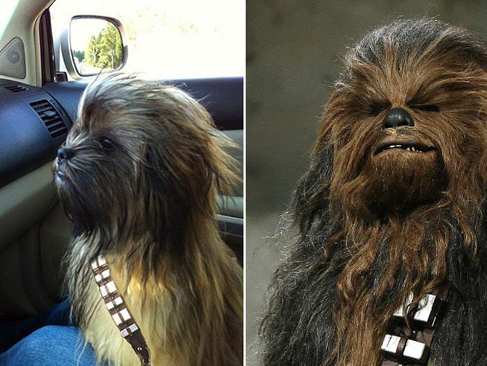 cachorro-peludo-chewbacca-star-wars-guerra-nas-estrelas
