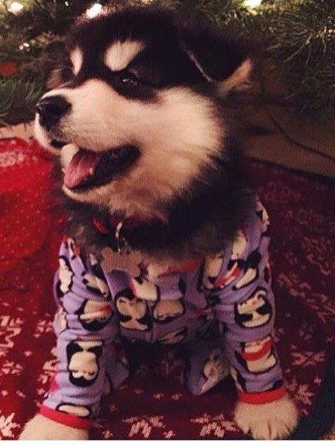 cachorro-peludo-de-pijamas