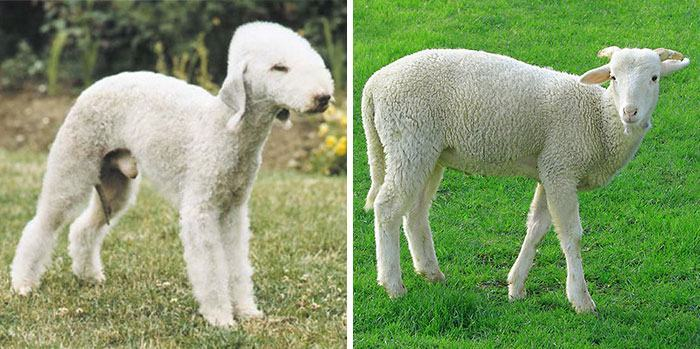 cachorro-semelhante-a-ovelha