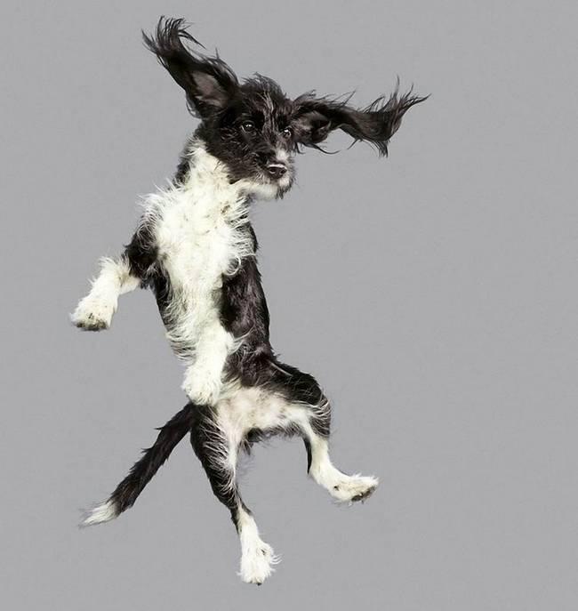 cadelinha-peluda-voando