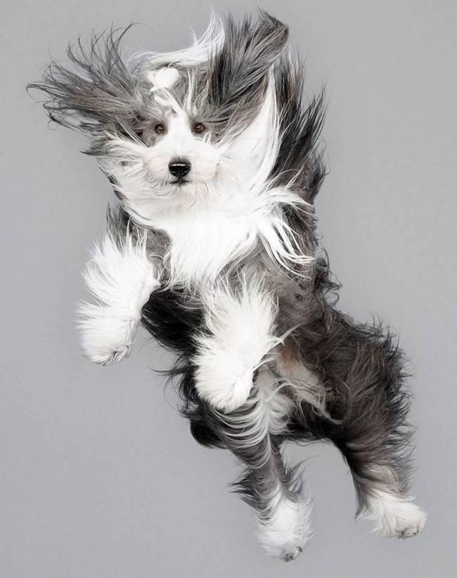 cachorro-peludo-voando