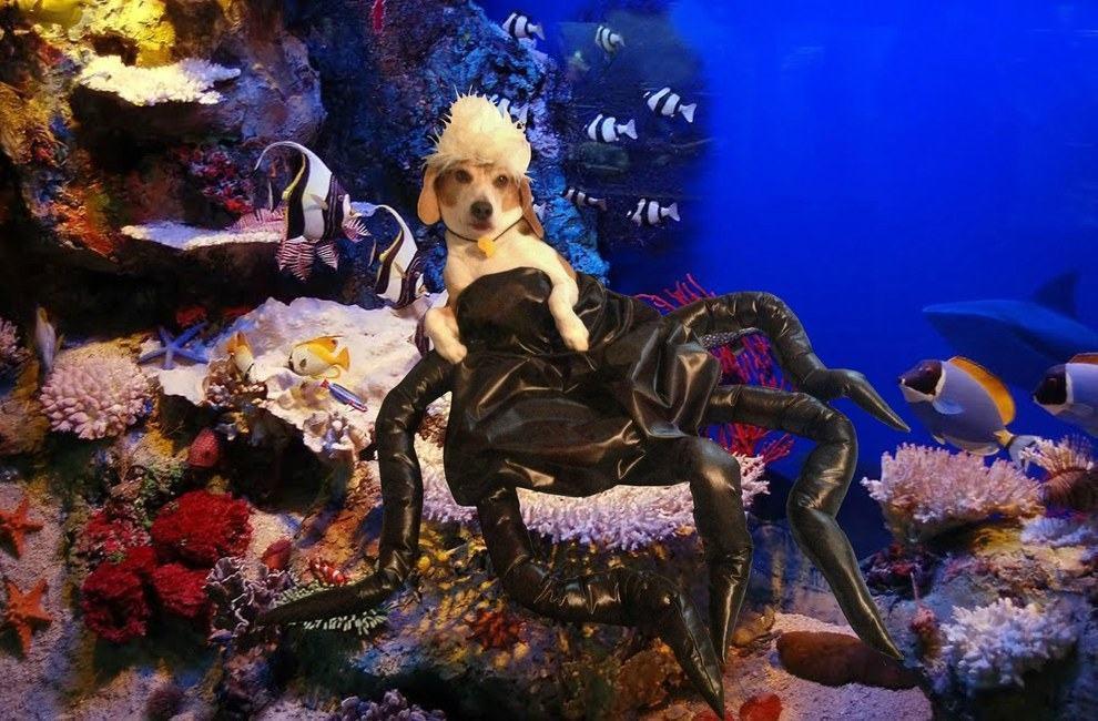 cadela-fantasiada-de-ursula-pequena-sereia