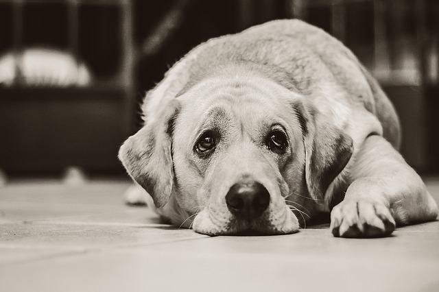 Cães sentem tristeza e choram com lágrimas?