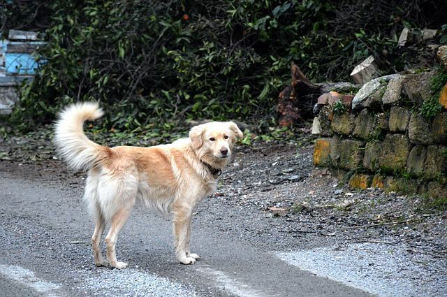 cao-golden-retriever