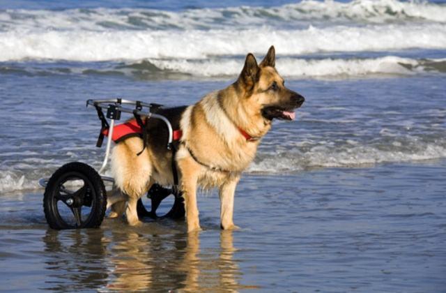 Carrinhos para cães deficientes têm ajudado no desenvolvimento desses pets