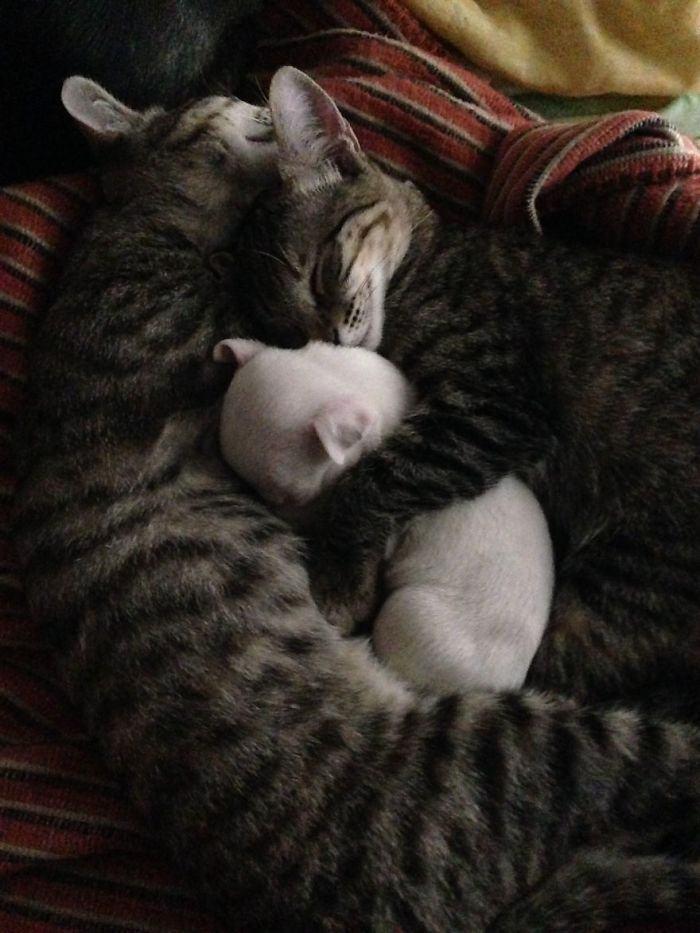 gatos-cuidando-de-filhote-de-pitbull