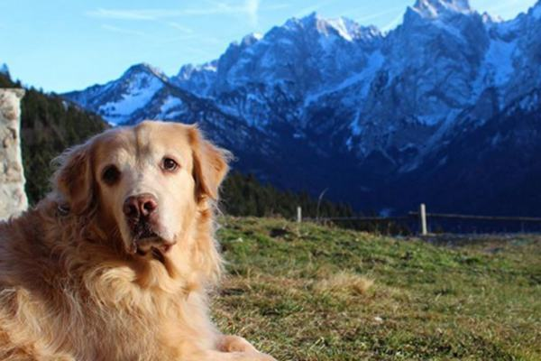 golden-retriever-viajando-na-austria