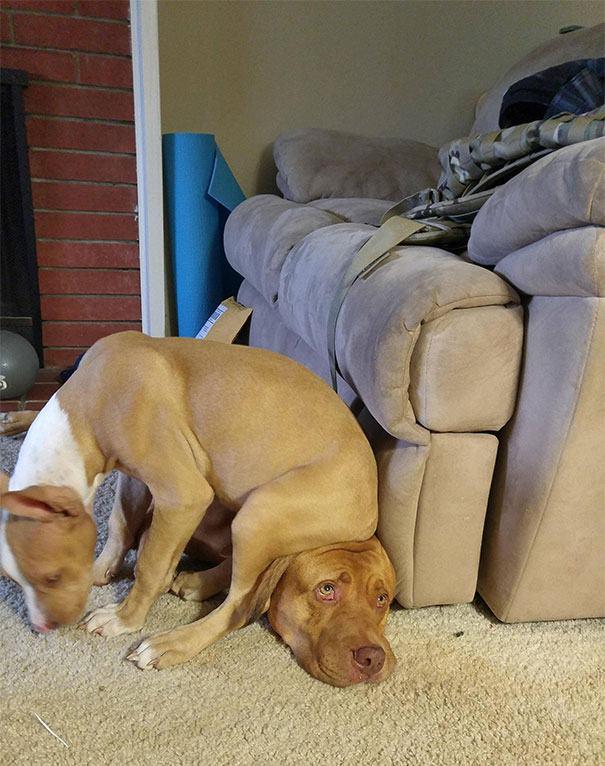 pitbull-sentado-na-cabeça-de-outro