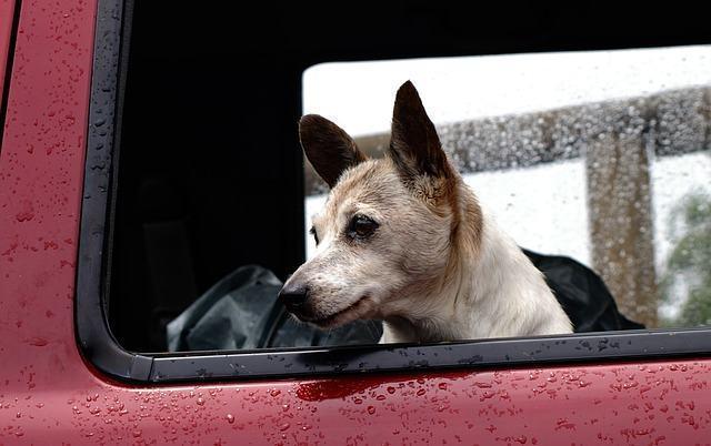 Saiba por que os cães deixam a cabeça para fora da janela do carro