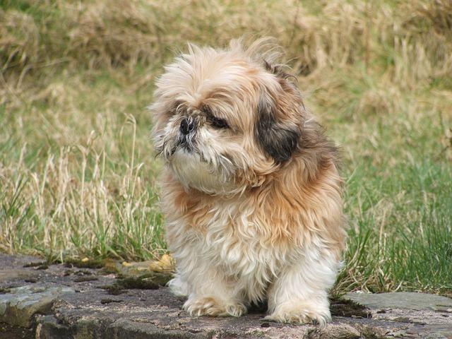 30 nomes ideias para batizar cães shih-tzu