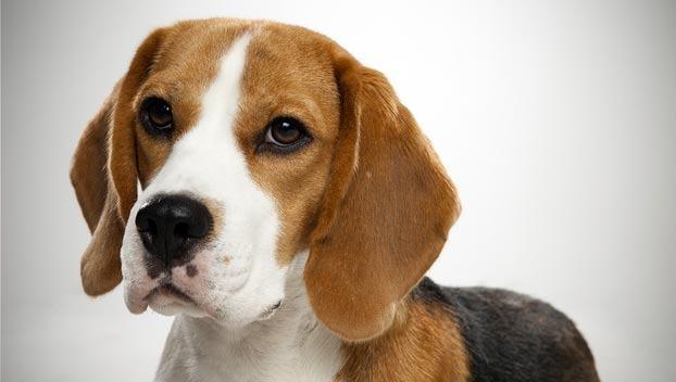beagle-cao-docil