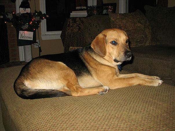 beagle-com-pastor-alemao